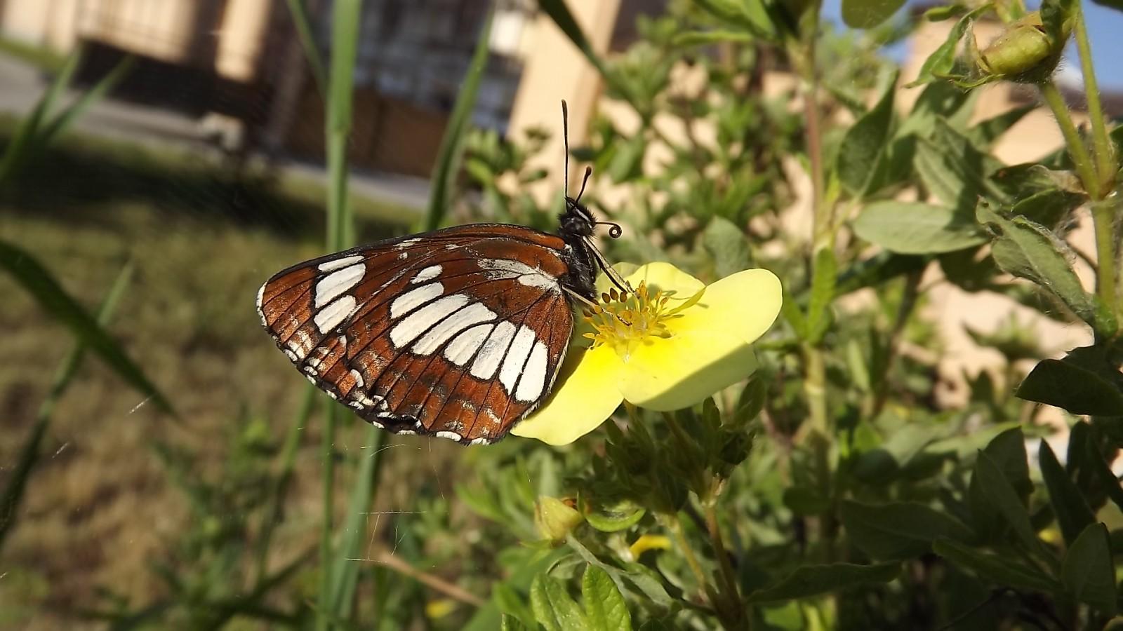 Бабочка отряда насекомейших