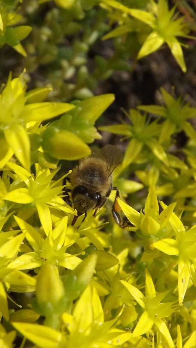 Желтый мед ...