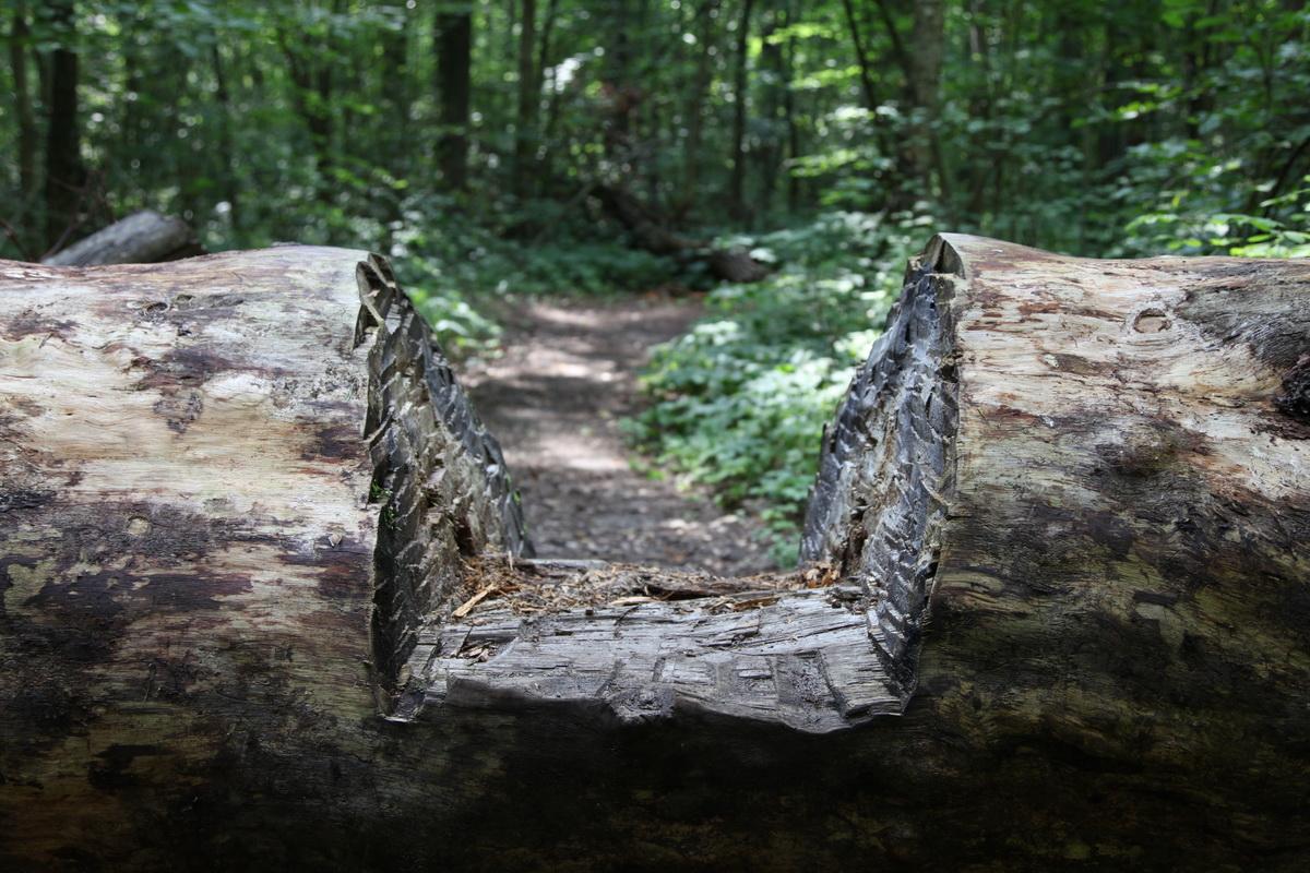 Дерево, которое видело оптинских старцев