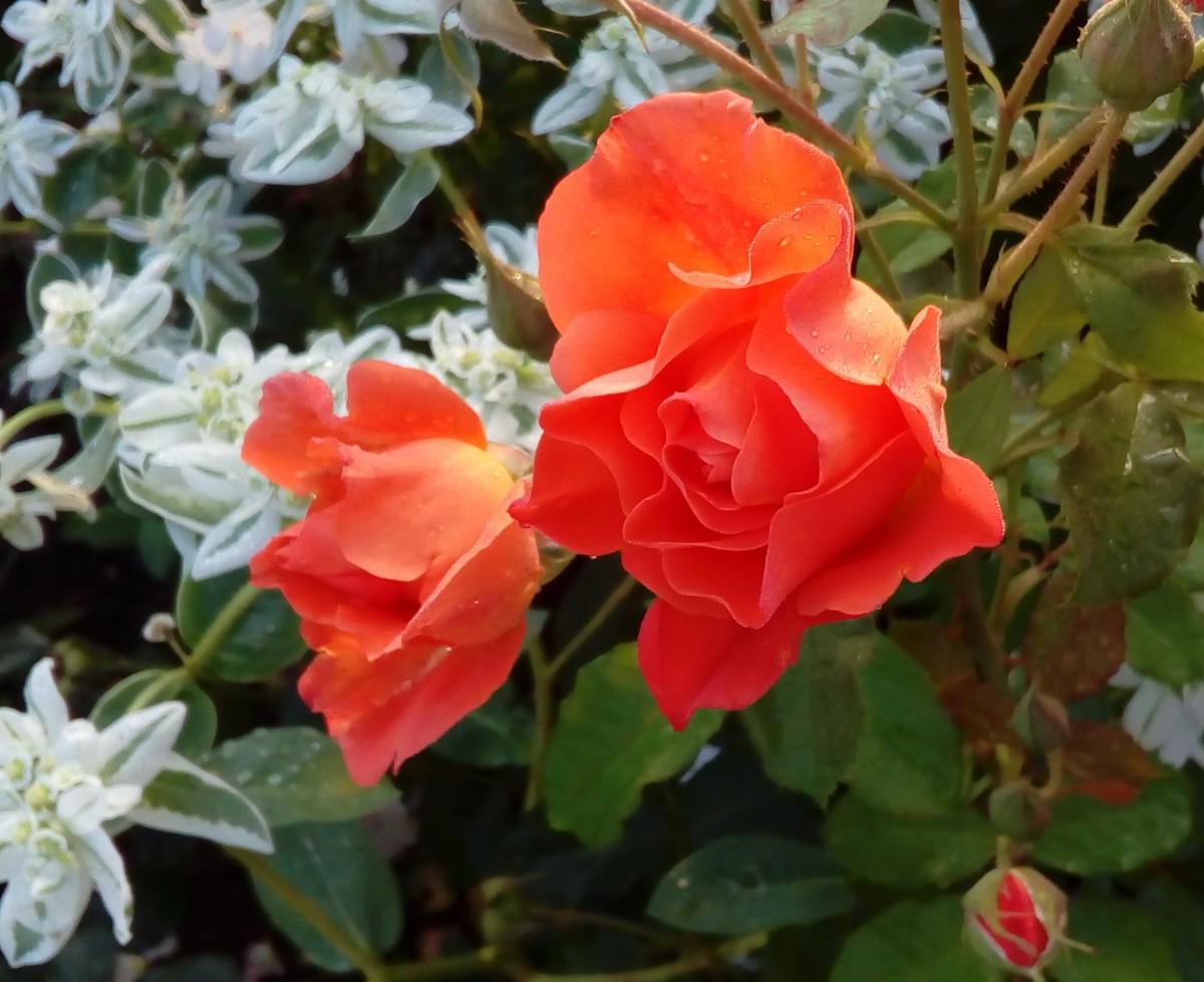 7. Розы и эуфорбия