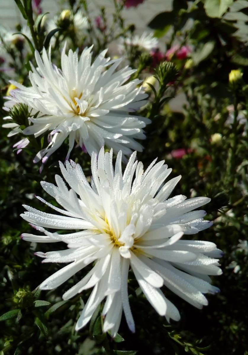 3. Хризантемы