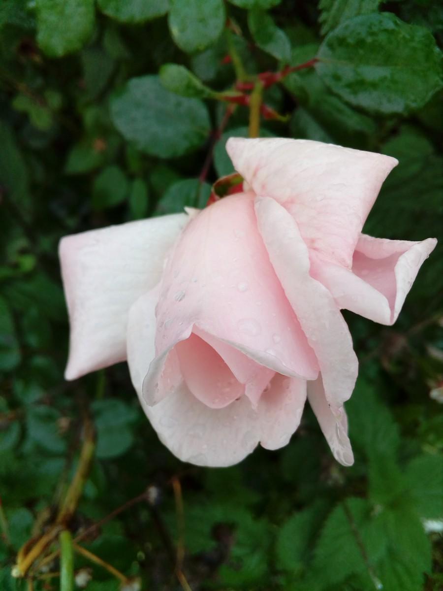 Розы Оптиной (a)