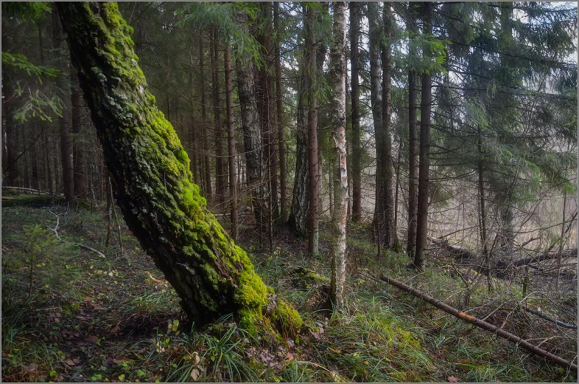 Дерево покрытое мхом ( Снимок сделан 11 ноября 2012 г.)