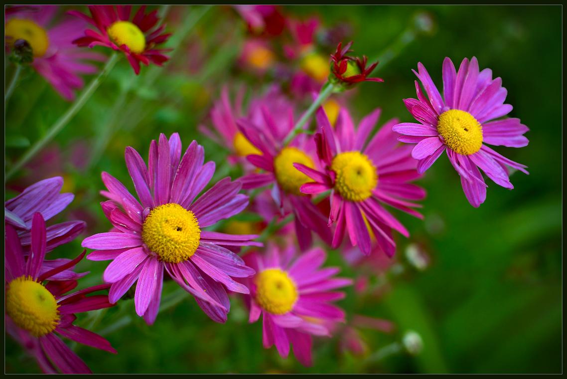 Пиретрум-цветная ромашка ( 29 сентября 2012 г.)