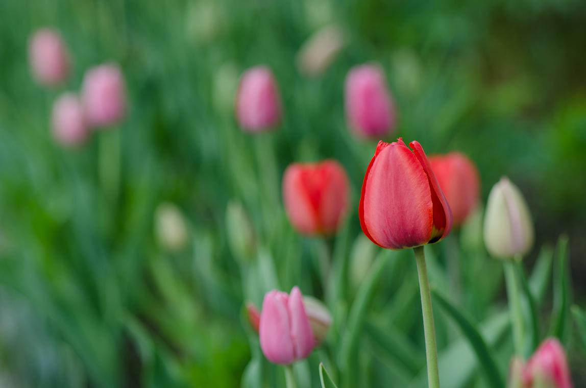 Тюльпановая акварель
