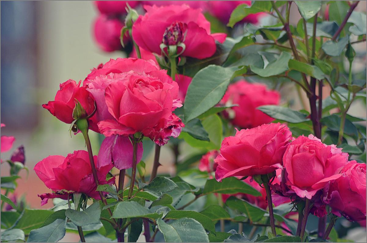 Розовый куст (снимок сделан 10 июля 2012 г.)