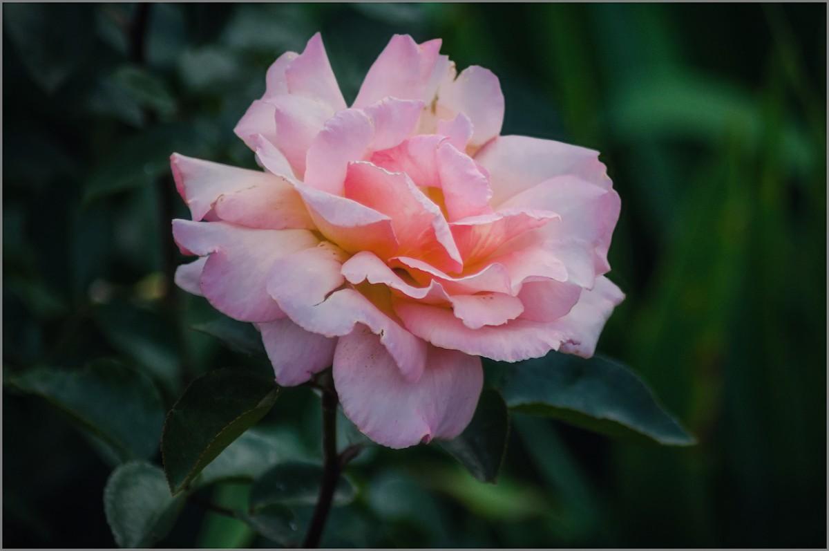 Розы пышное цветение (снимок сделан 10 июля 2014 г.)