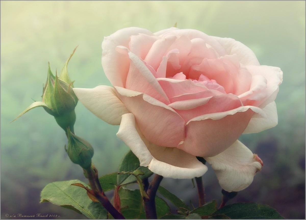 Розы нежный аромат (снимок сделан 27 июня 2009 г.)