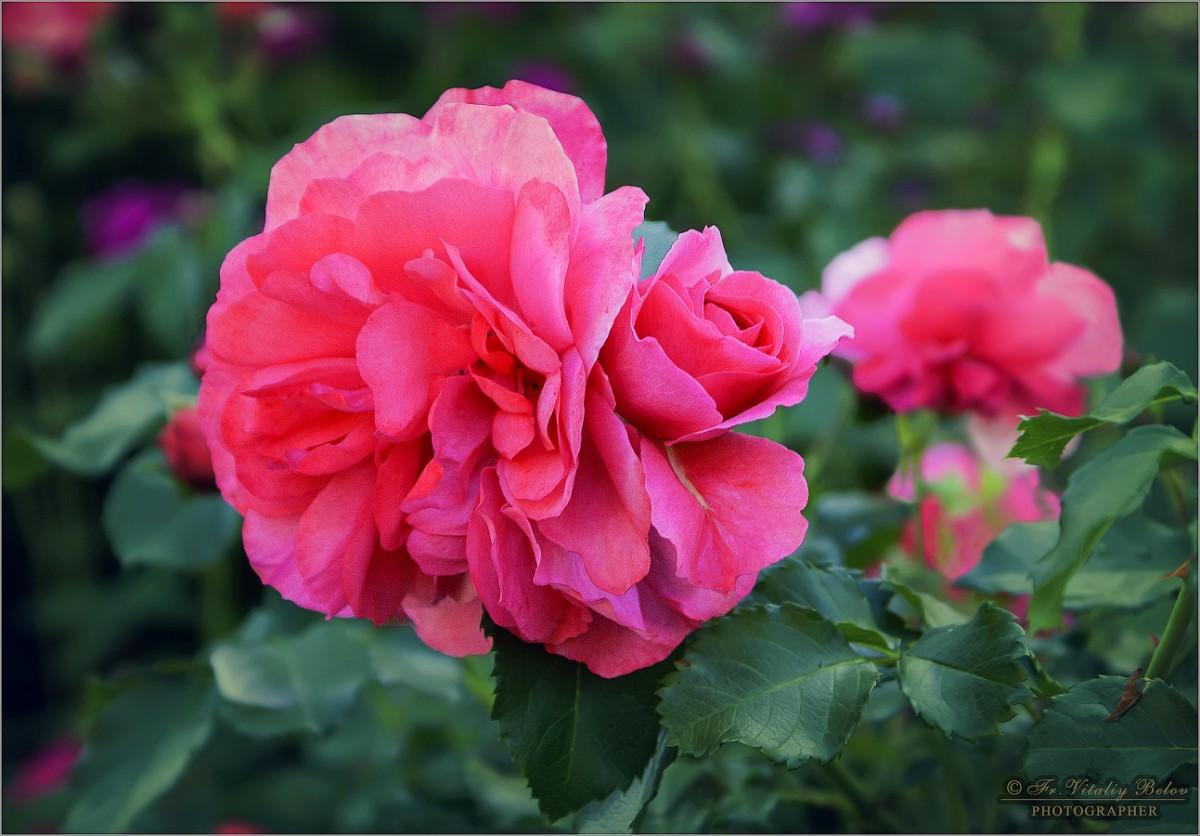 Цветущая роза (снимок сделан 15 июня 2011 г.)