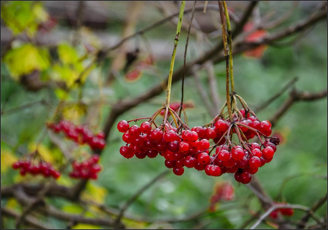 Яркие гроздья калины ( Снимок сделан 27 сентября 2013 г.)