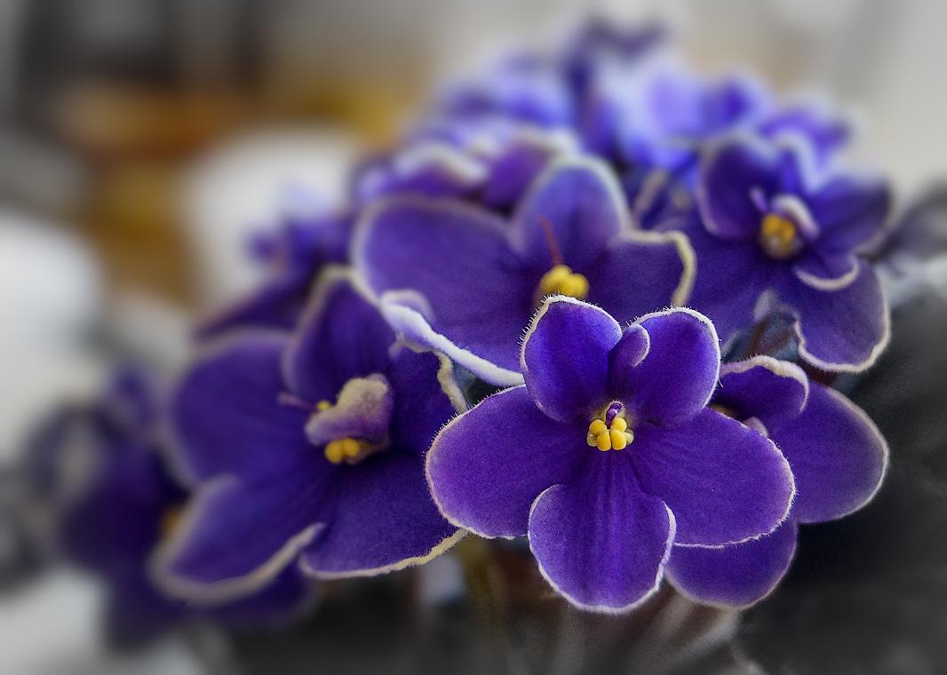 помыслы-это картинки с цветами красивые фиалка счастью, так