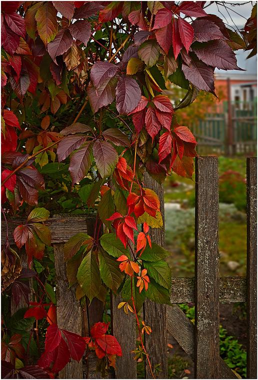 Осенний виноград ( 29 сентября 2012 г.)