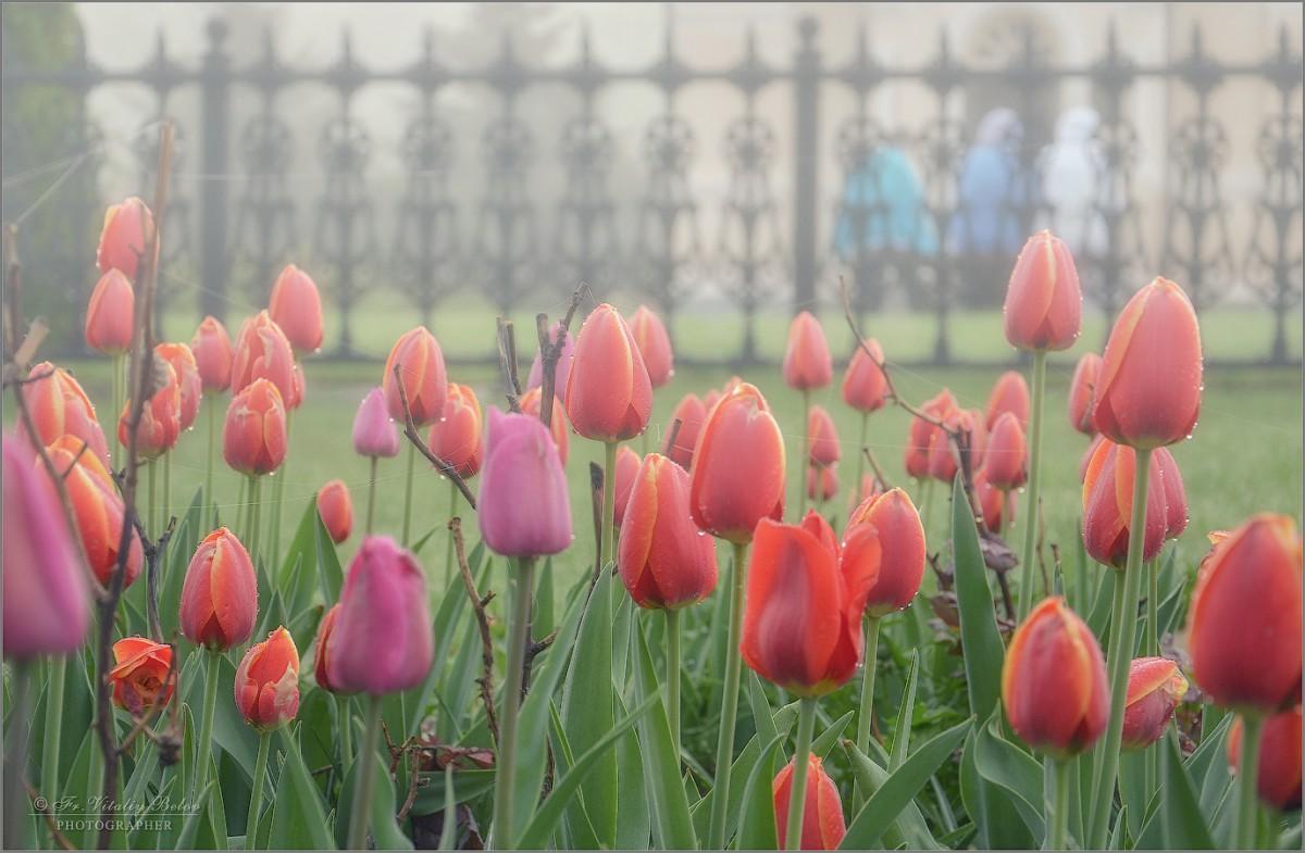 Тюльпаны утром фото