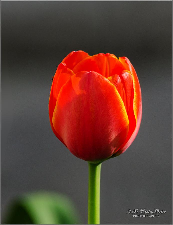 Тюльпан с маленьким ползущим обитателем (снимок сделан 30 апреля 2017 г.)