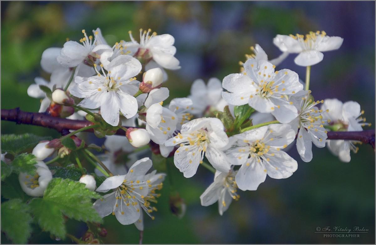 Цветение вишни (снимок сделан 6 мая 2012 г.)
