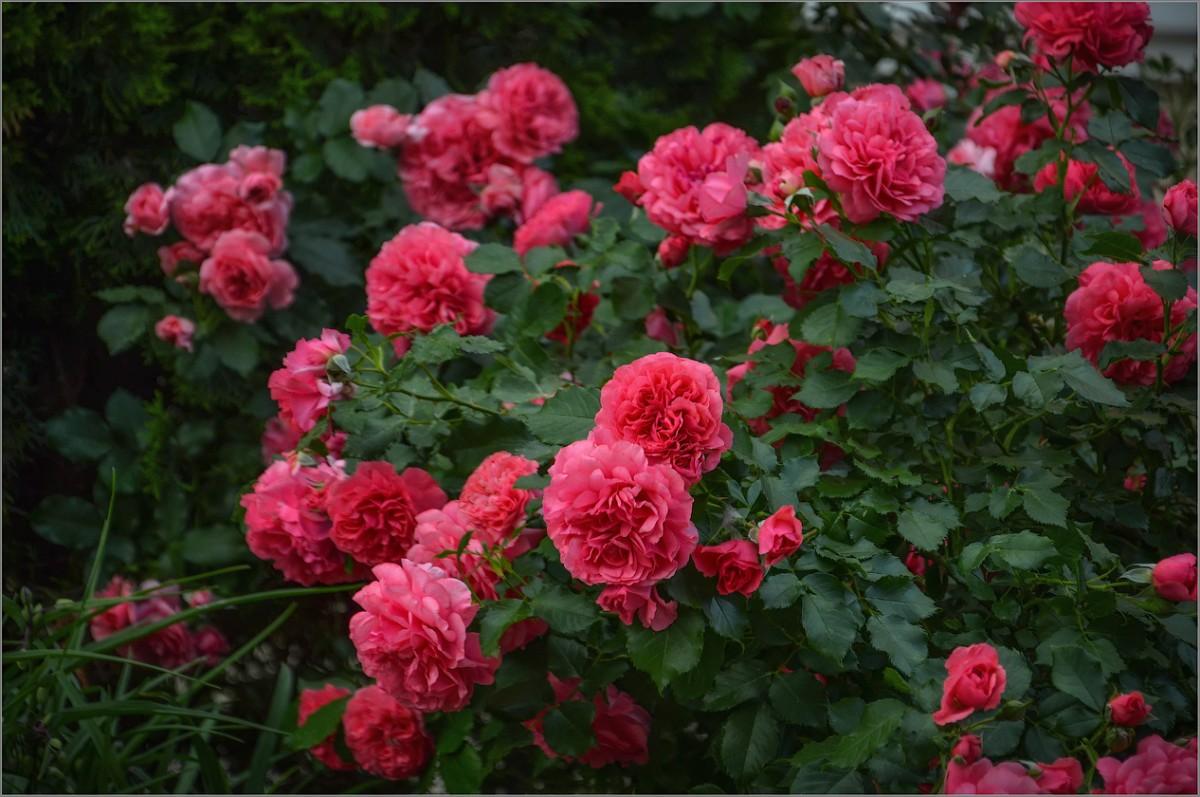 Благолепие плетистых роз (снимок сделан 8 июня 2014 г.)