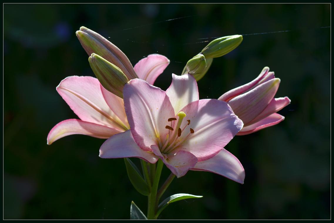 О лилии подсвеченной солнцем и паутинках ( 1 июля 2012 г.)