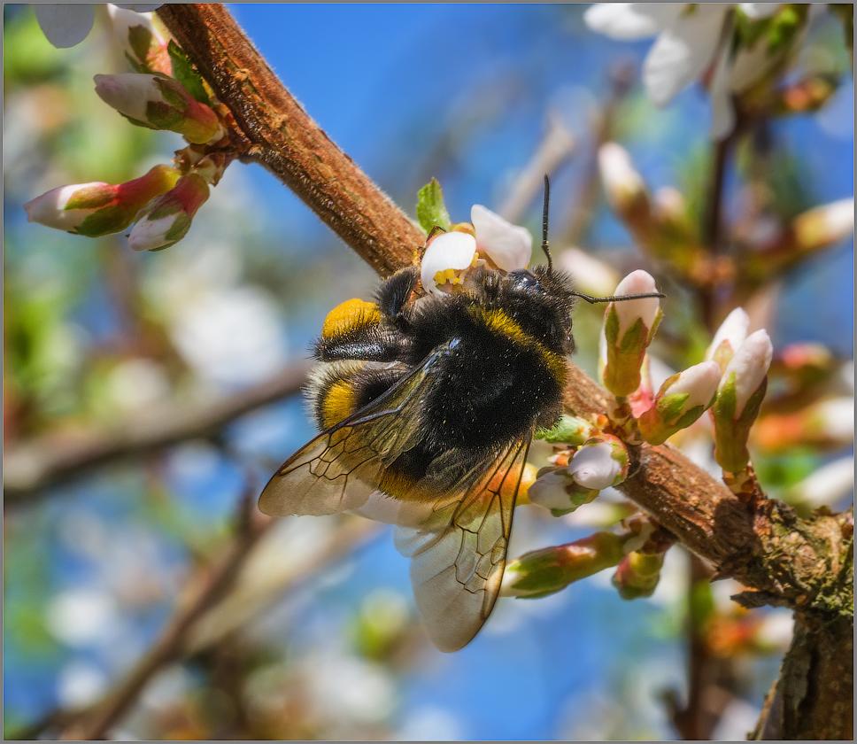 Прильнувший к первому цветку (снимок сделан 5 мая 2015 г.)