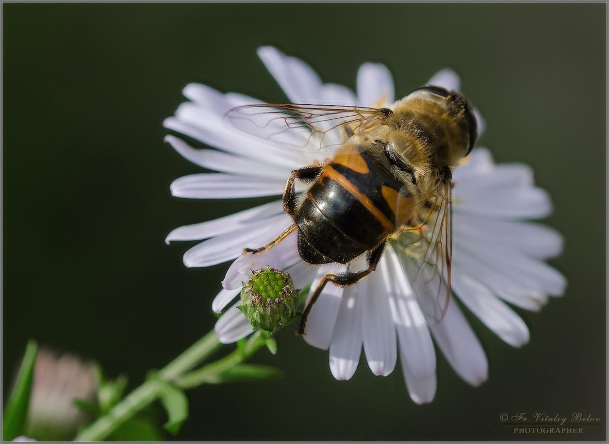 Ильница на цветке (Снимок сделан 11 сентября 2016 г.)