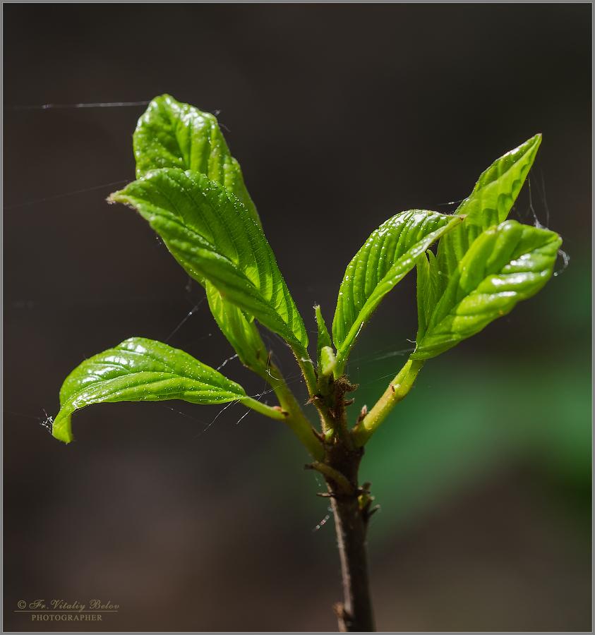 Молодо зелено (снимок сделан 24 мая 2015 г.)