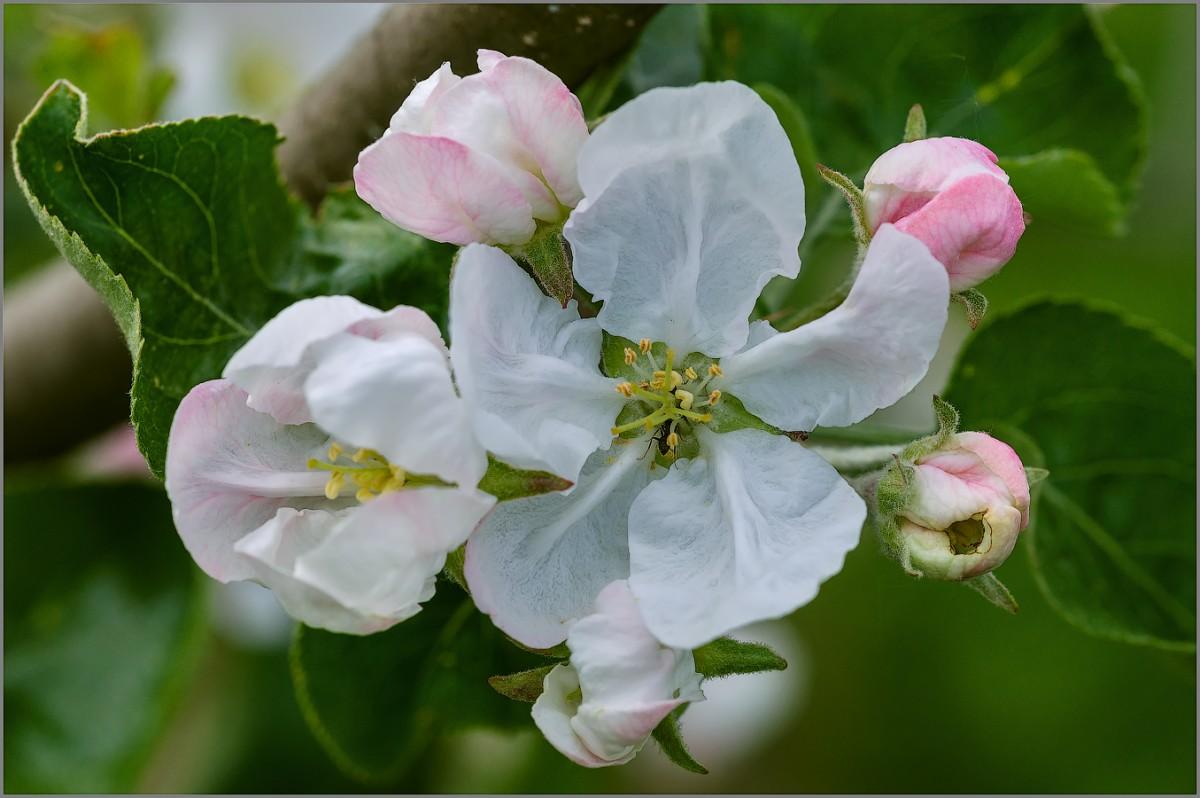 Муравьишка в цветке яблони (снимок сделан 14 мая 2015 г.)