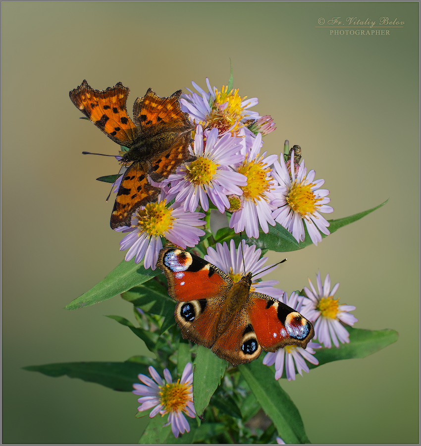 Бабочки на цветке (снимок сделан 3 октября 2016 г.)