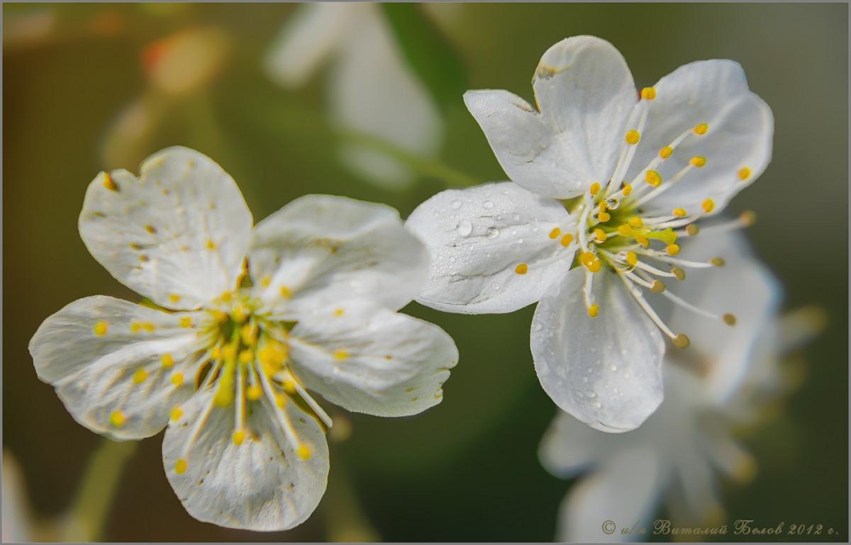 Взгляд на цветение, через увеличительное стекло (снимок сделан 6 мая 2012 г.)