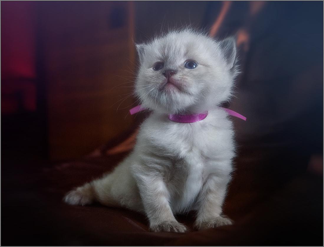 Котенок в дымке кошки Дымки (снимок сделан 10 июня 2013 г.)