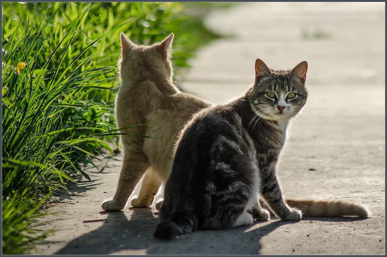 Два брата или из жизни молодого подрастающего кошачьего поколения ( снято 12 мая 2013 г.)