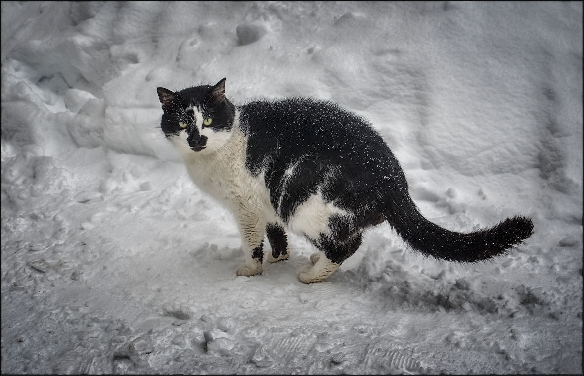 Черно-белый кот на снегу ( Снимок сделан 18 января 2013 г.)