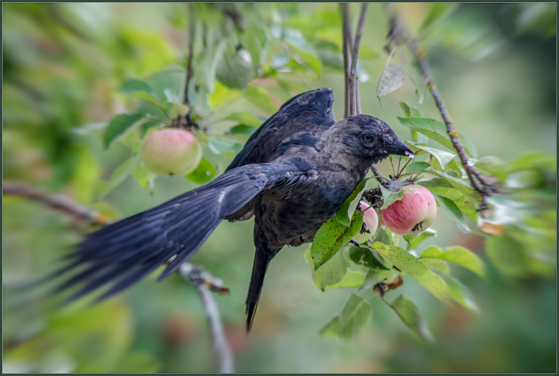 Вредители яблок ( Снимок сделан 19 августа 2013 г.)