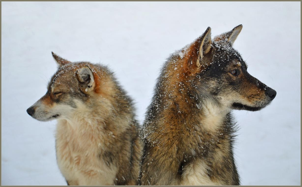 Двуглавый пёс ( Снимок сделан 17 января 2013 г.)