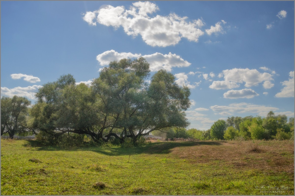 Старые ивы (снимок сделан 19 августа 2014 г.)