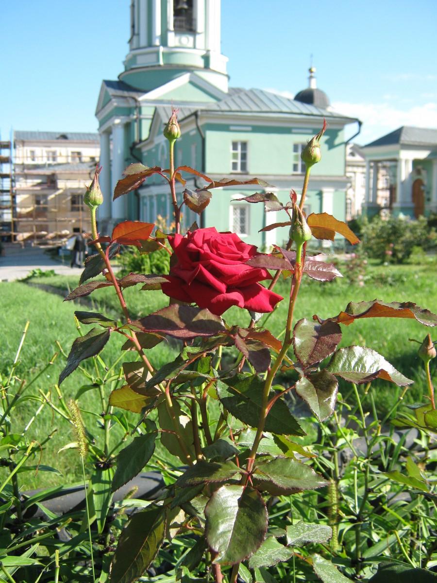 Оптинская роза