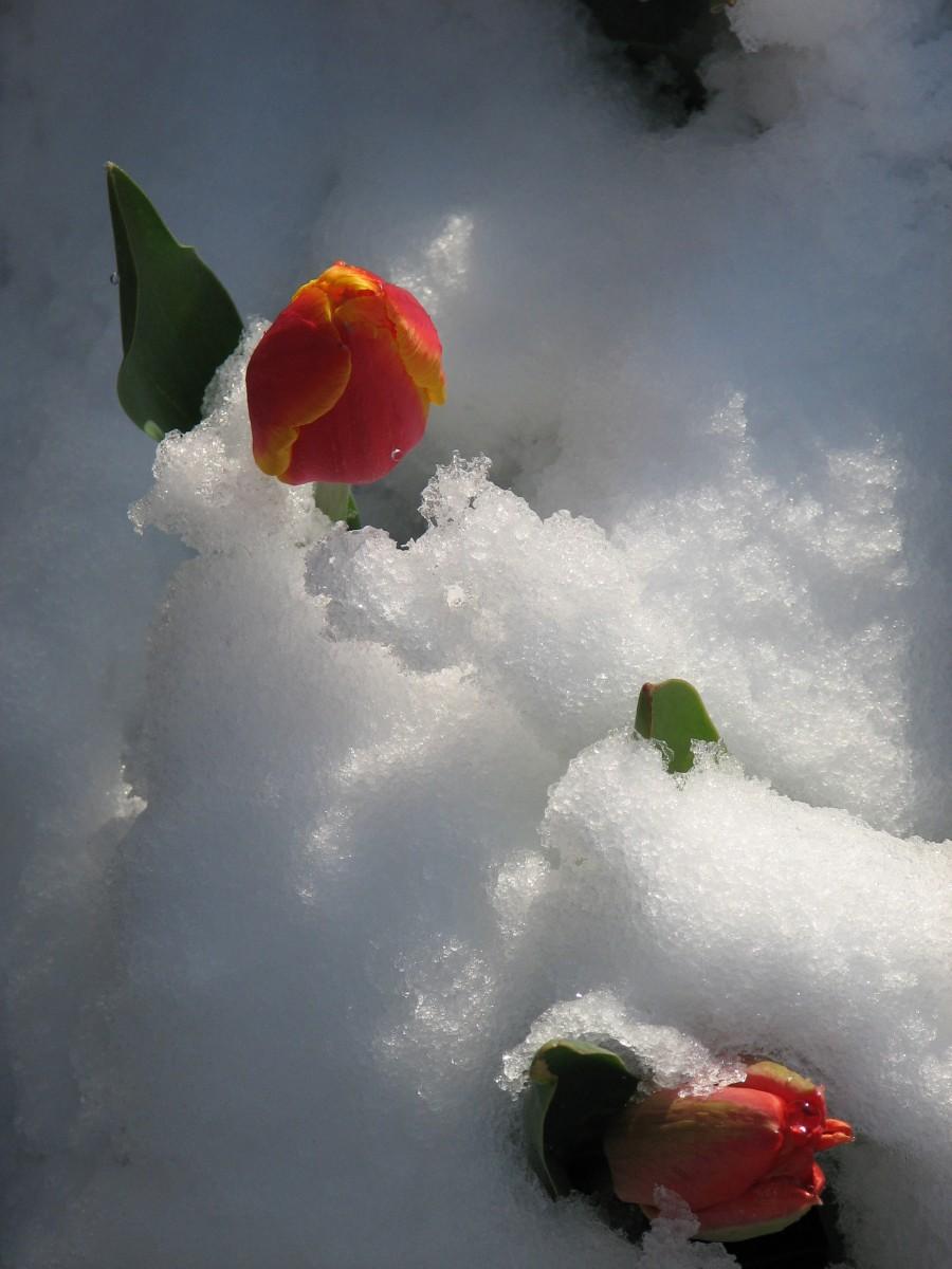 тюльпаны в снегу