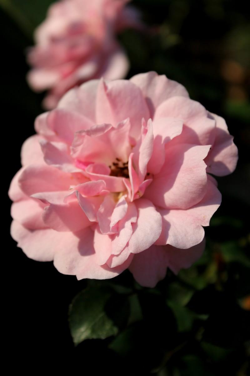 Оптинская роза сестричкам