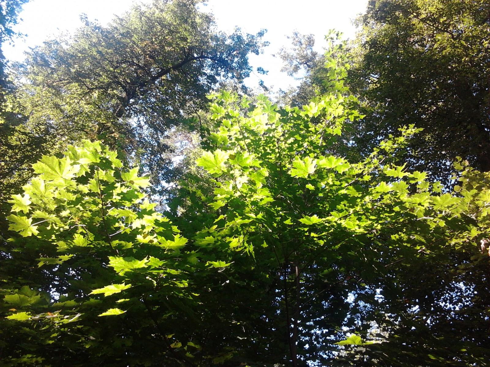 Клён. По дороге в скит 12.08.2012