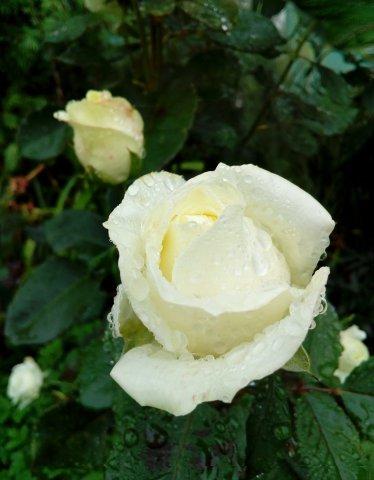 Розы Оптиной. Радоваться.jpg
