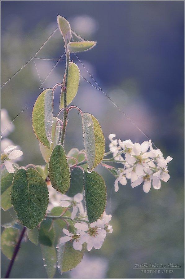 Цветение ирги (снимок сделан 6 мая 2012 г.)