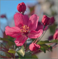 Яркое цветение яблони (снимок сделан 15 мая 2012 г.)