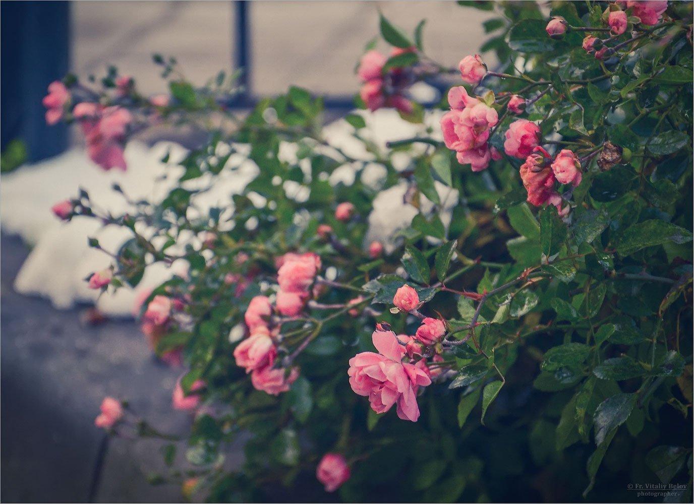 С ПРАЗДНИКОМ АРХИСТРАТИГА БОЖИЯ МИХАИЛА И ПРОЧИХ НЕБЕСНЫХ СИЛ БЕЗПЛОТНЫХ!!!! Розы в ноябре (снимок сделан 2 ноября 2012 г.)