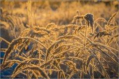 02_Золотые травы (снимок сделан 30 ноября 2018 г.)