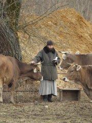 На послушании с коровками