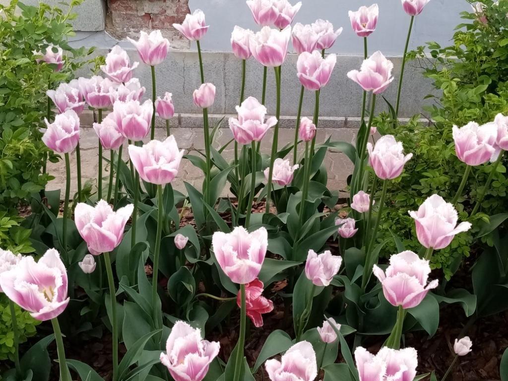 Май в Оптиной - это тюльпаны!