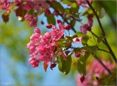 Красный яблоневый цвет