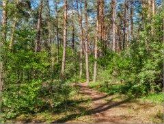 Солнечный лес.jpg