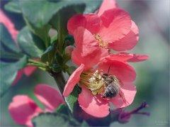 3315_Пчелка на цветущей айве.jpg