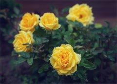 Желтые розы С ПРАЗДНИКОМ КАЗАНСКОЙ ИКОНЫ БОЖЬЕЙ МАТЕРИ!!!