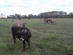Коровки и телятки. Родные, Оптинские