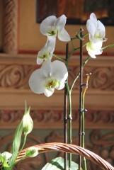 орхидея в Казанском храме